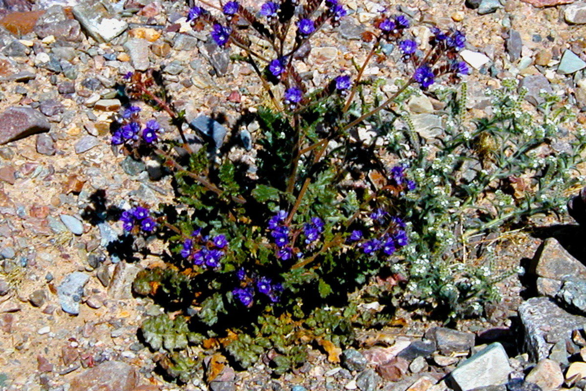 Wildflowers at Death Valley National Park.