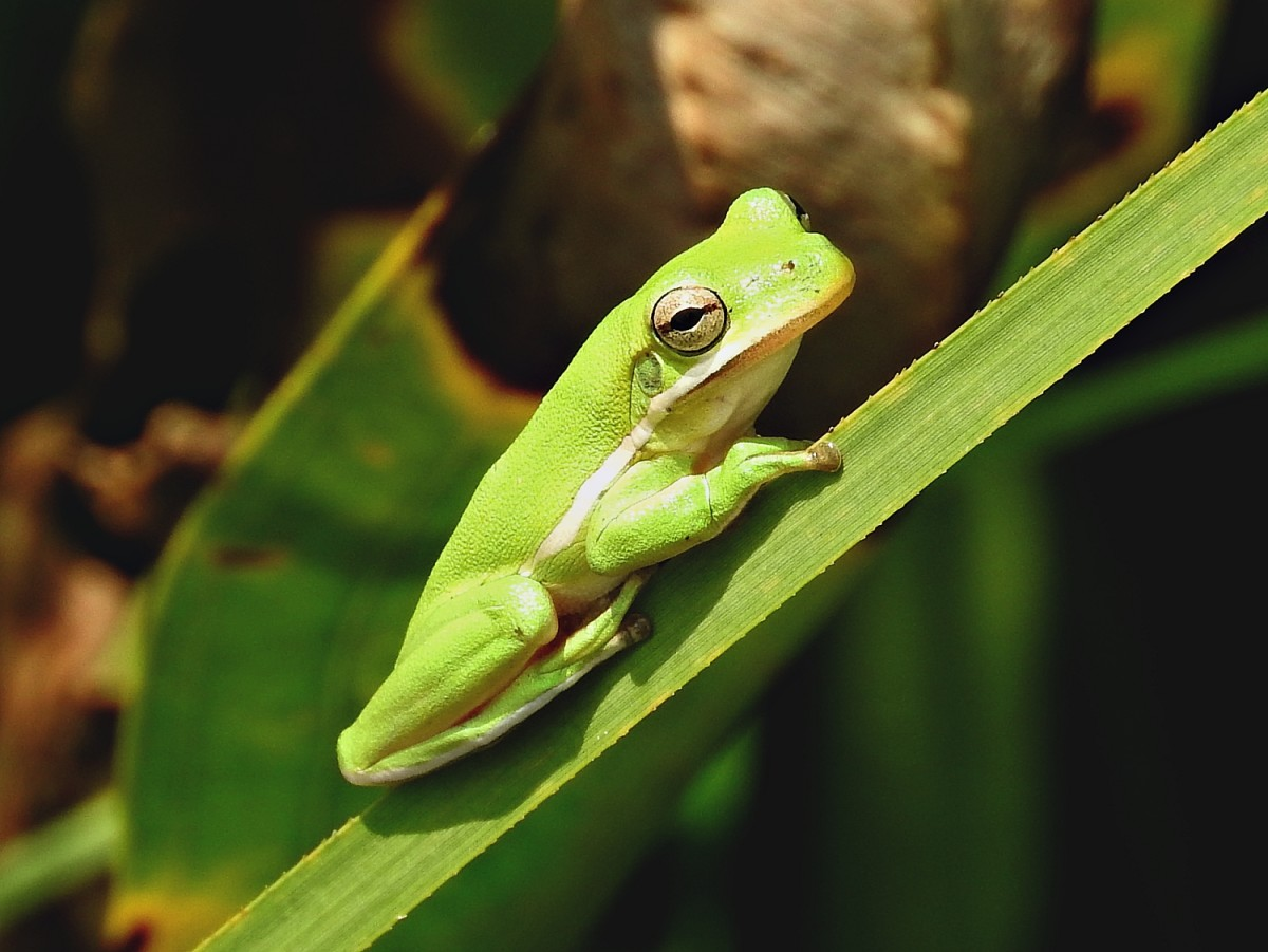 Tree frogs, native to the area, sound like birds at night.