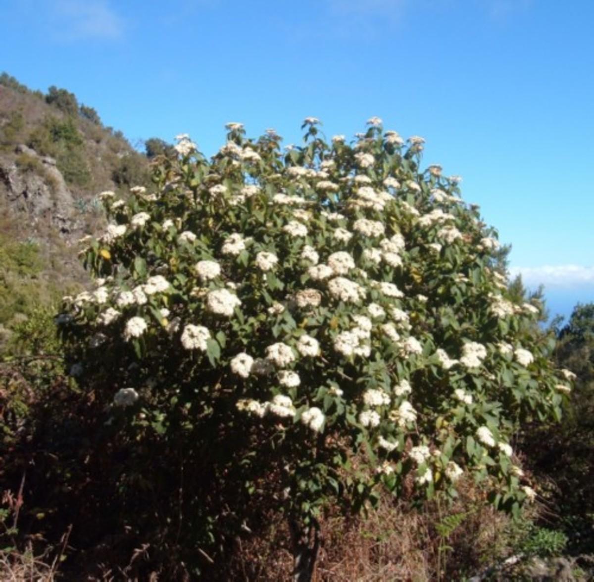 Viburnum rigidum in full flower. Photo by Steve Andrews