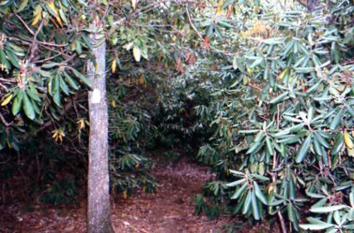 Follow the white blazes through the rhododendron ...
