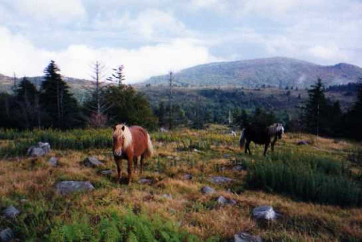 Yes, there are wild ponies along the Appalachian Trail.  These equines are in Grayson Highlands State Park in Virginia.