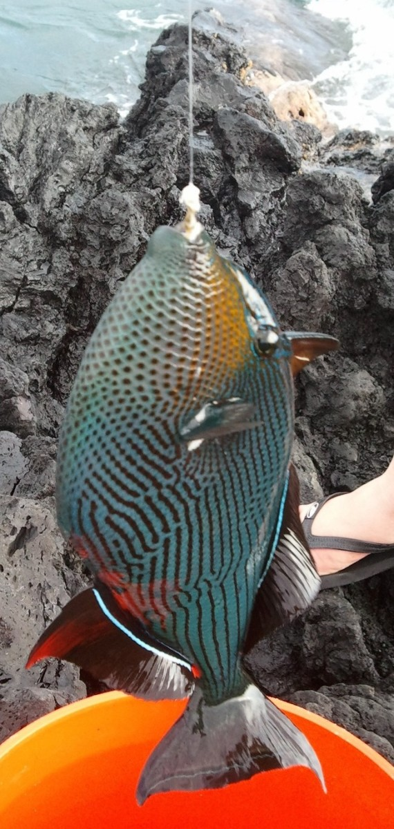 I caught this triggerfish at Keahou Harbor one afternoon.