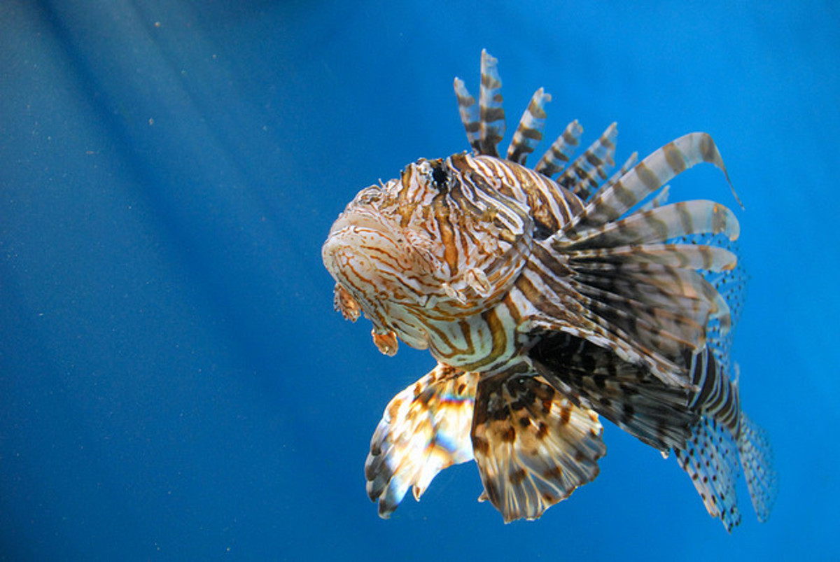 This is a lion fish, which is a very common catch in Hawaii.  If you catch one, throw them back, because they are poisonous.