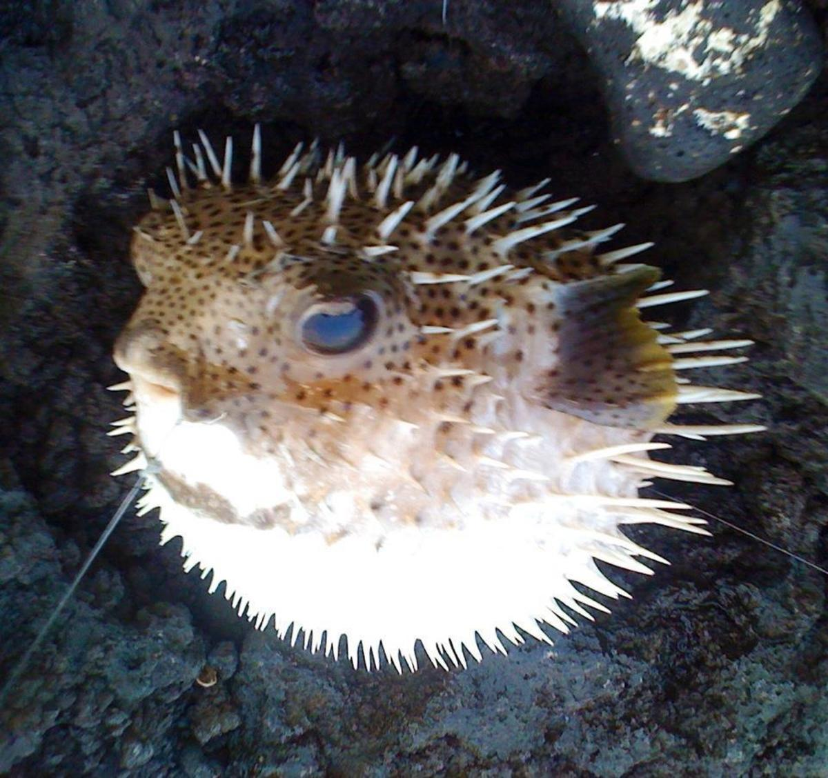 I caught this pufferfish by accident at A-Bay.  Be sure to study which fish are poisonous before eating them!