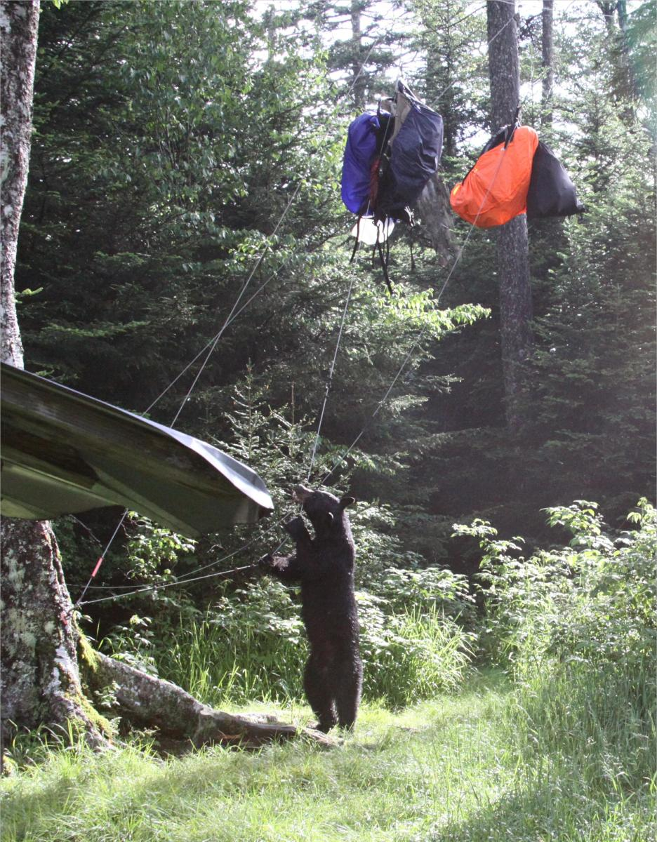 It is hard to keep food out of reach from a bear.