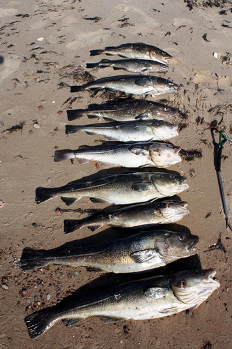Fish caught spearfishing