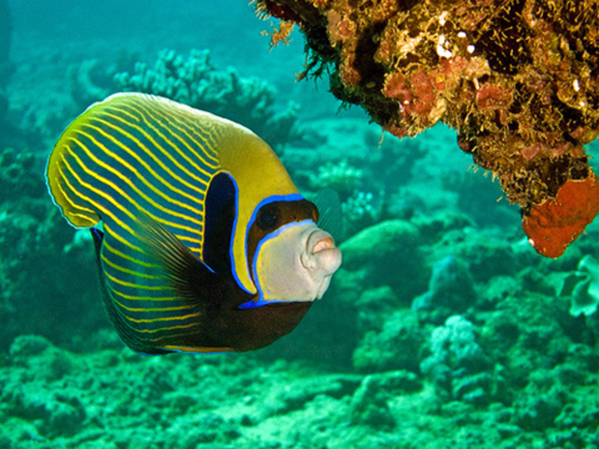Emperor angelfish, at Jeddah Red Sea