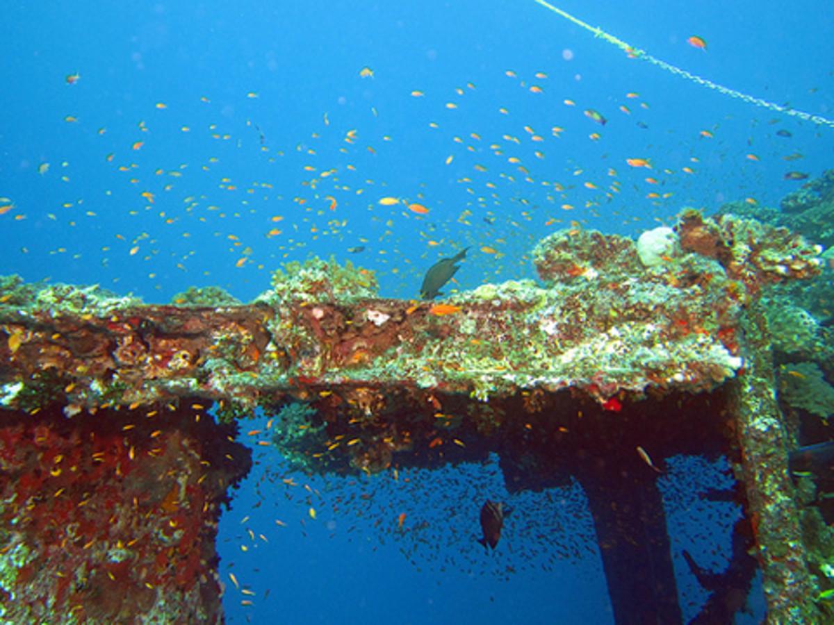 Anthias fishes on the Ann Ann wreck, off Jeddah