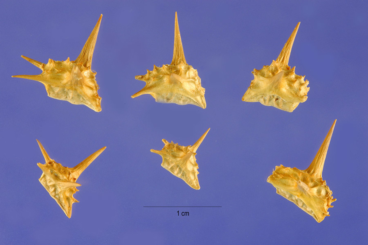 Goatheads, caltrops, puncture vine:  different names for the same bike-stopping seeds.