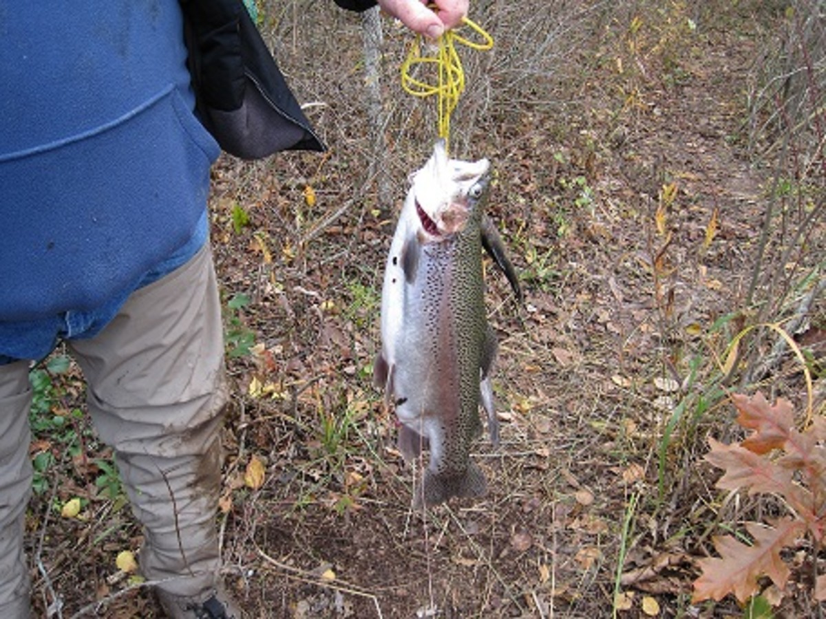 Bruiser trout caught during the Trout Derbies held on Veteran's Day several years ago.