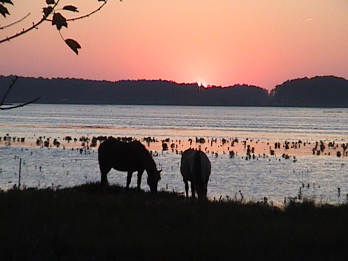 Wild Ponies in Chincoteague National Refuge