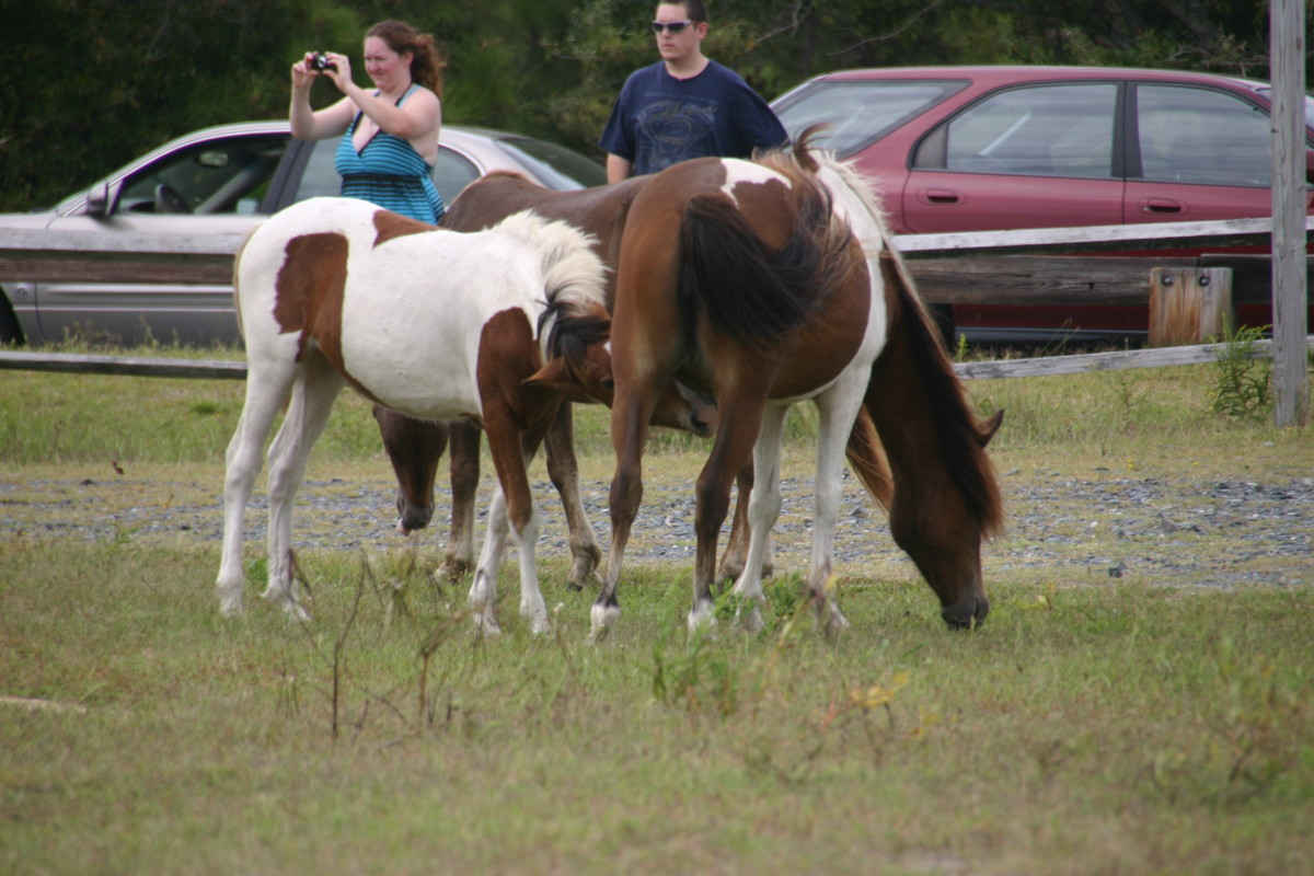 A mother and her foal in Assateague State Park