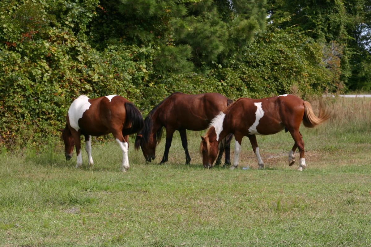 These ponies were right on our bayside campsite in Assateague Island National Seashore