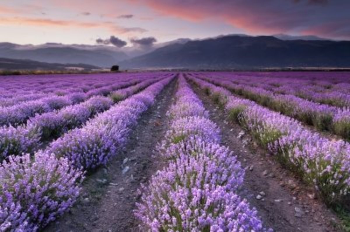 lavender is widely used today as an essential oil, infused oil, dried, fresh and in tea.
