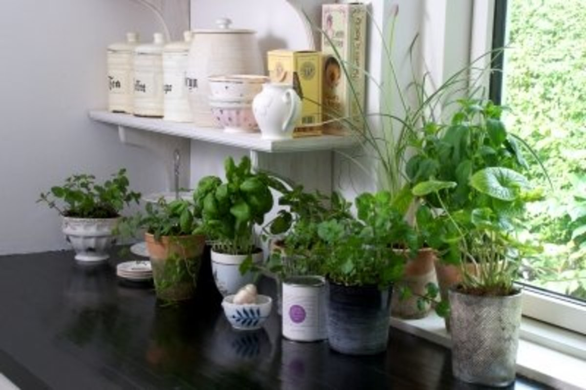 use your fresh kitchen herbs for home treatments and remedies including insect repellents. Any from the mint family are highly effective.