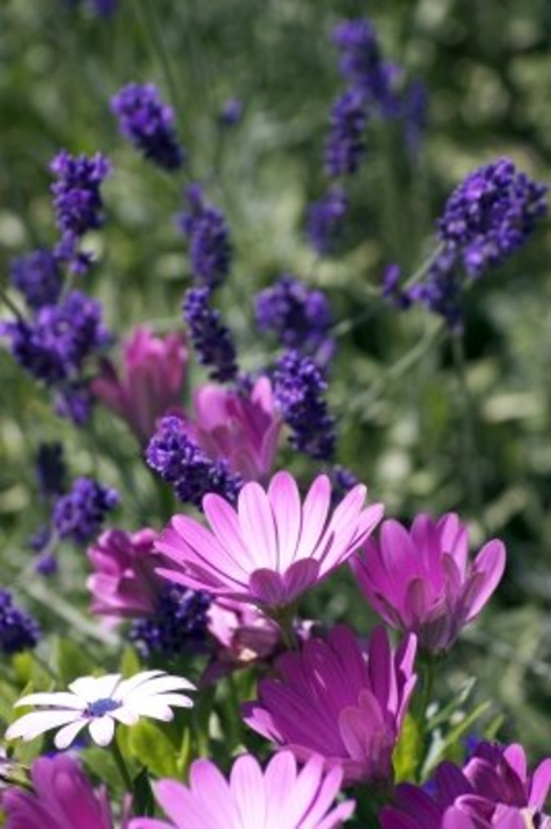 growing wild is where lavender originated and is native to the dry hot Mediterranean countries.