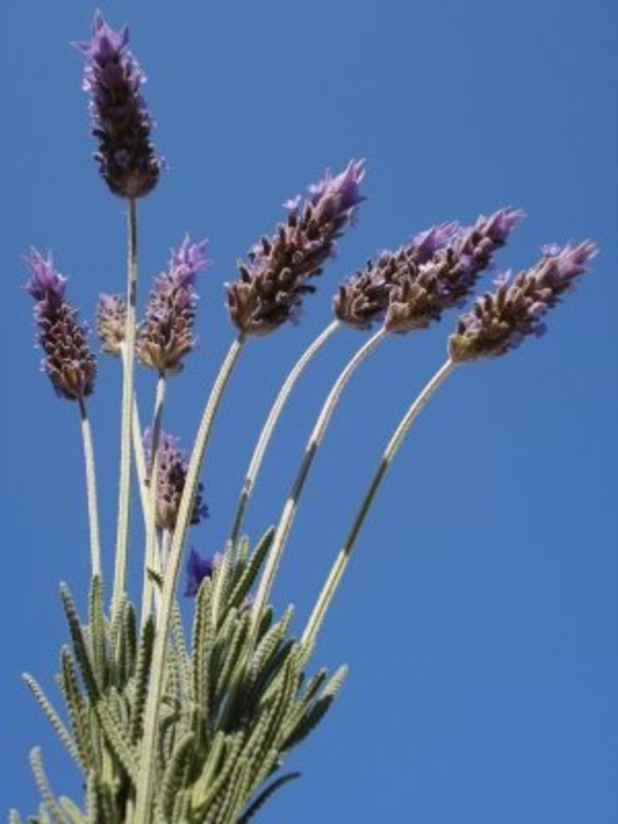 lavender is a key ingredient for homemade repellents that you can make easily and carry with you as a bug spray.