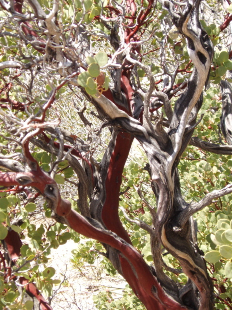 Beautiful manzanita, with its red and white bark.