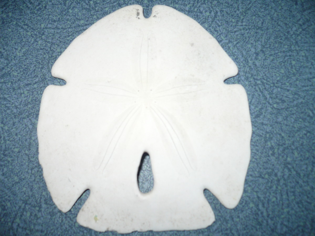 Arrow shaped sand dollar. See the star?