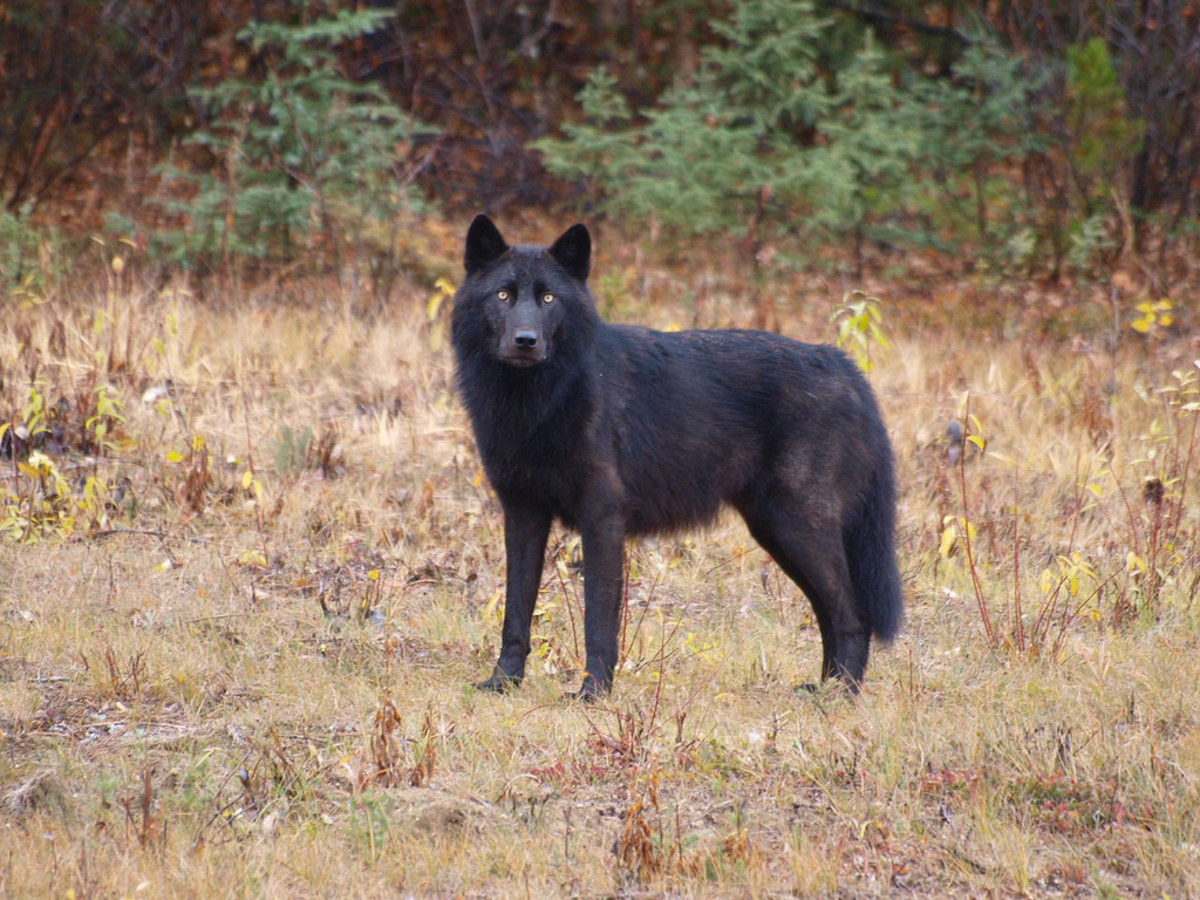 Wolves are attracted to new and interesting smells, so cook away from your camp.