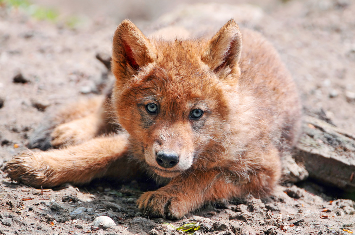 Wolves may become aggressive if their pups are nearby, so be careful!