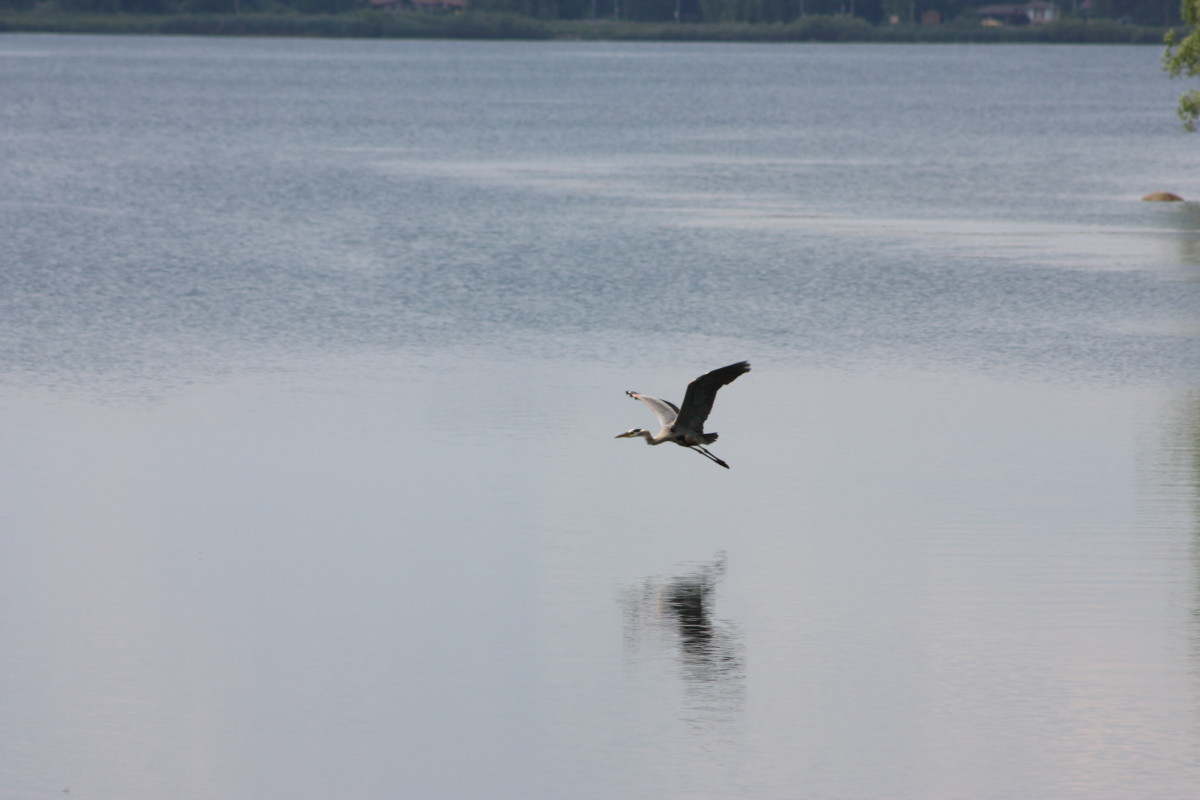 Great Blue Heron, flying over the St. Lawrence.