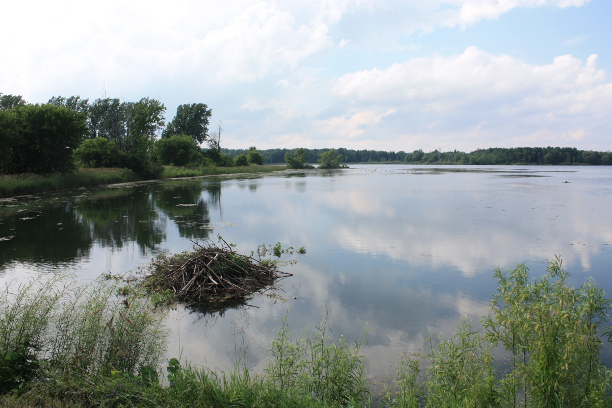 The Long Sault Parkway is the permament home for several families of beavers. There are three beaver damns located within the Parkway.