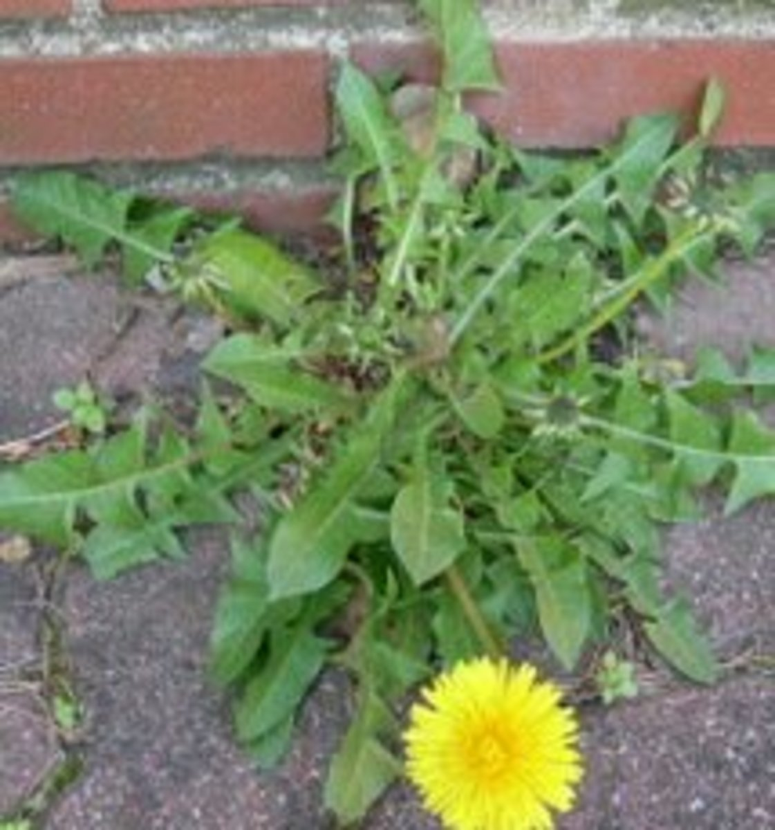 It's a good idea to try these survival plants before you're in an emergency situation, but be careful not to eat dandelions or other plants from from lawns or other areas that have been chemically treated.