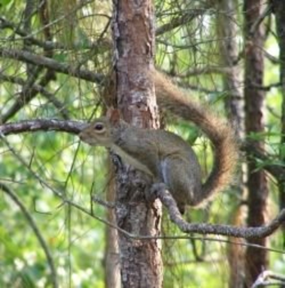 squirrel-hunting-info