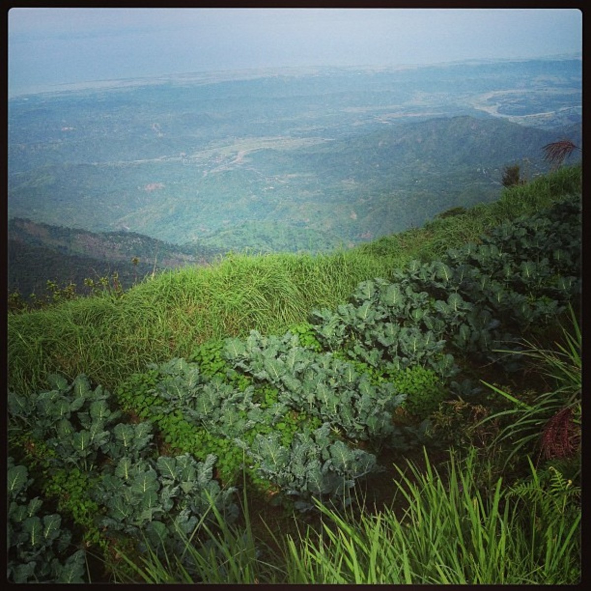 Broccoli plants grown on the mountain