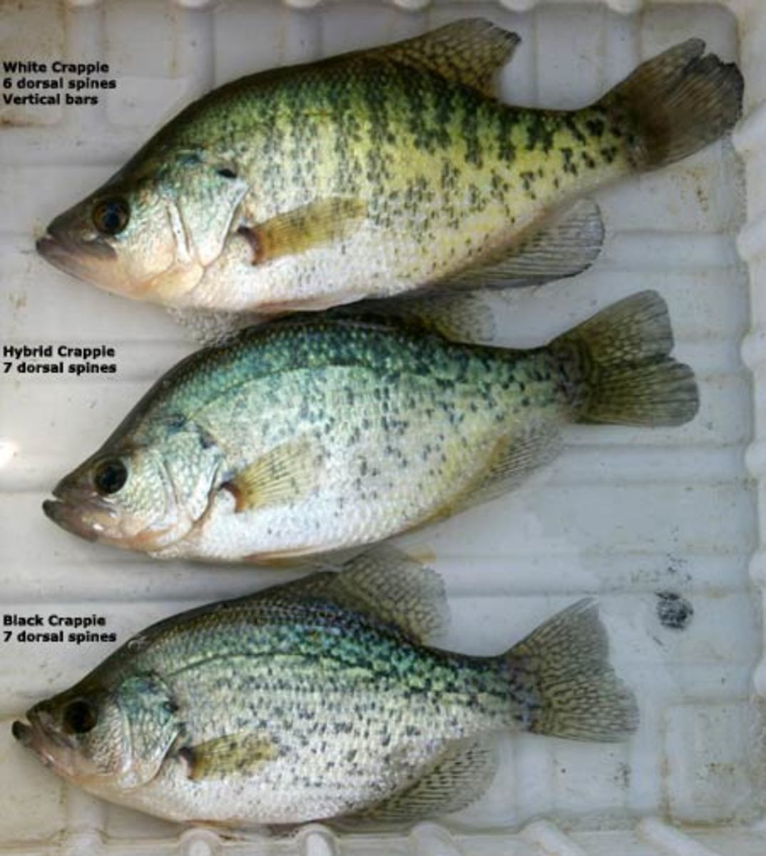 Seven best lakes in texas for crappie fishing and a few for Crappie fishing texas
