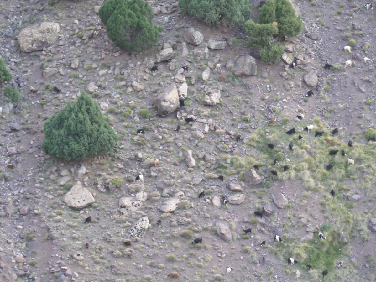 Mountain goats can be seen climbing the steep hills.