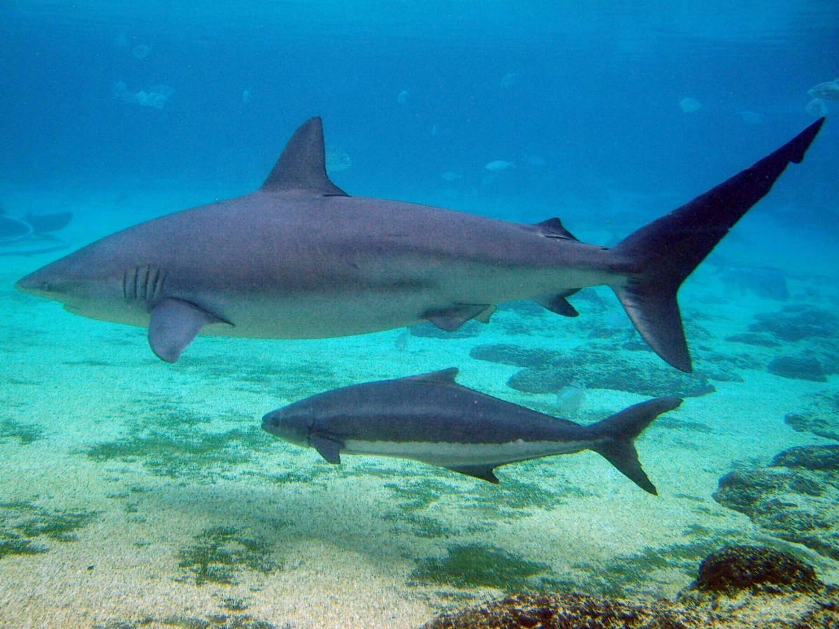 Cobia often associate with other large marine life.