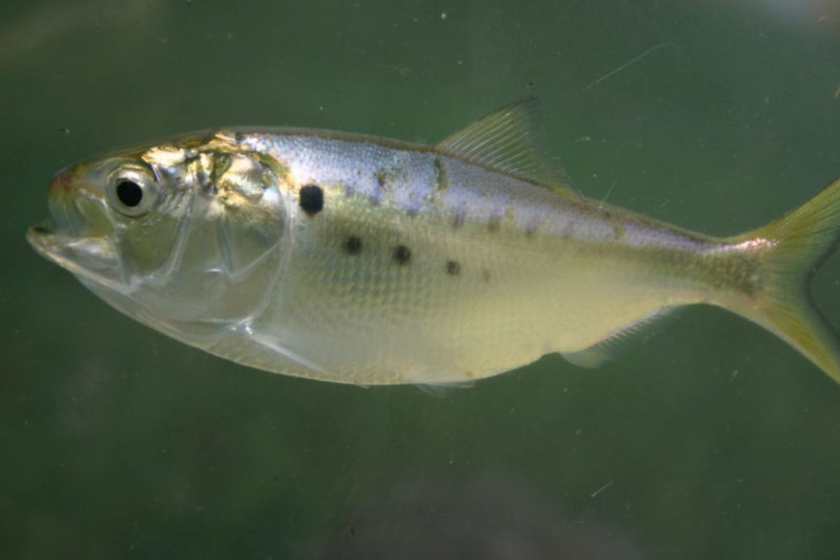 Menhaden are a very fragile bait.  Be sure not to overfill your livewell.