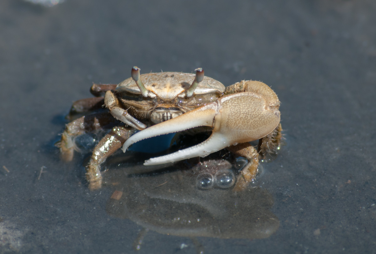 Fiddler crabs are one of the best baits to use when fishing for sheepshead.  It is debatable whether removing the large claw from males leads to more hits or not, but it does lead to fewer fingers getting pinched.