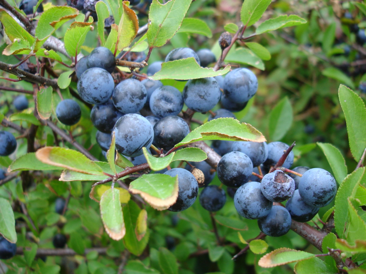 how-to-make-a-blackthorn-walking-stick-from-the-bush-prunus-spinosa