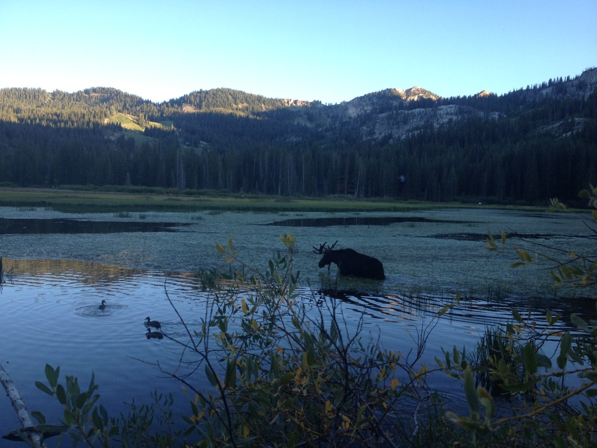 Moose at Silver Lake in Big Cottonwood Canyon