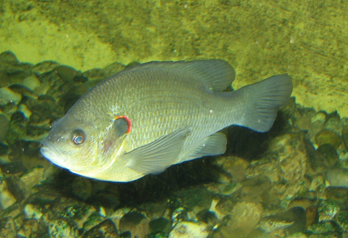Redear sunfish, also known as shell crackers, tend to be a little larger than other bream.