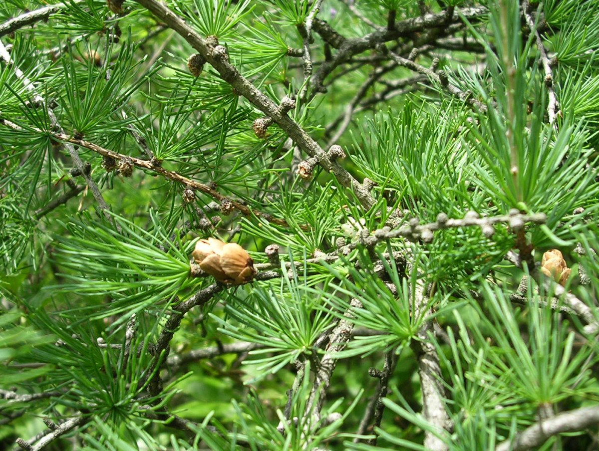 Tamarack close-up at Volo Bog