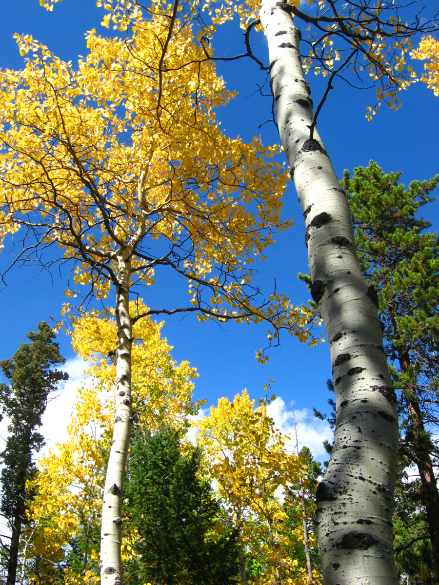 Even though this photo was taken the first week of Oct., you can see that there is still some good leaf color in the aspens.