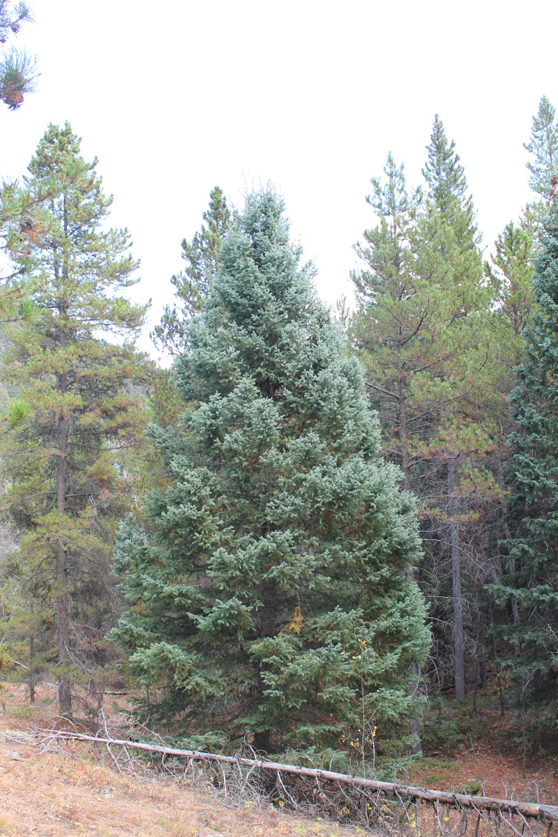 Near the trail head, a nice specimen of Colorado's state tree, the blue spruce.