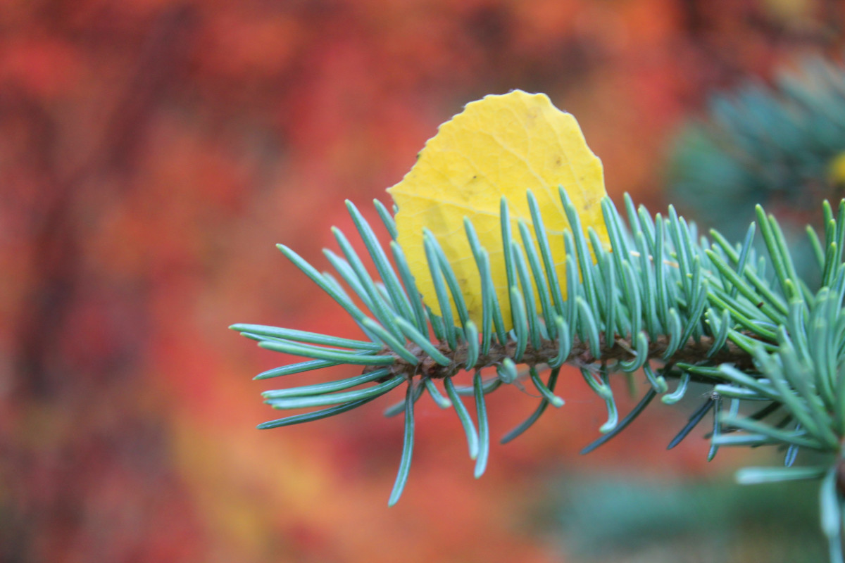 I like to catch the small moments as well as the big vistas. Here we have a golden aspen leaf caught in the branch of a blue spruce. The red bush in the background highlights the colors.