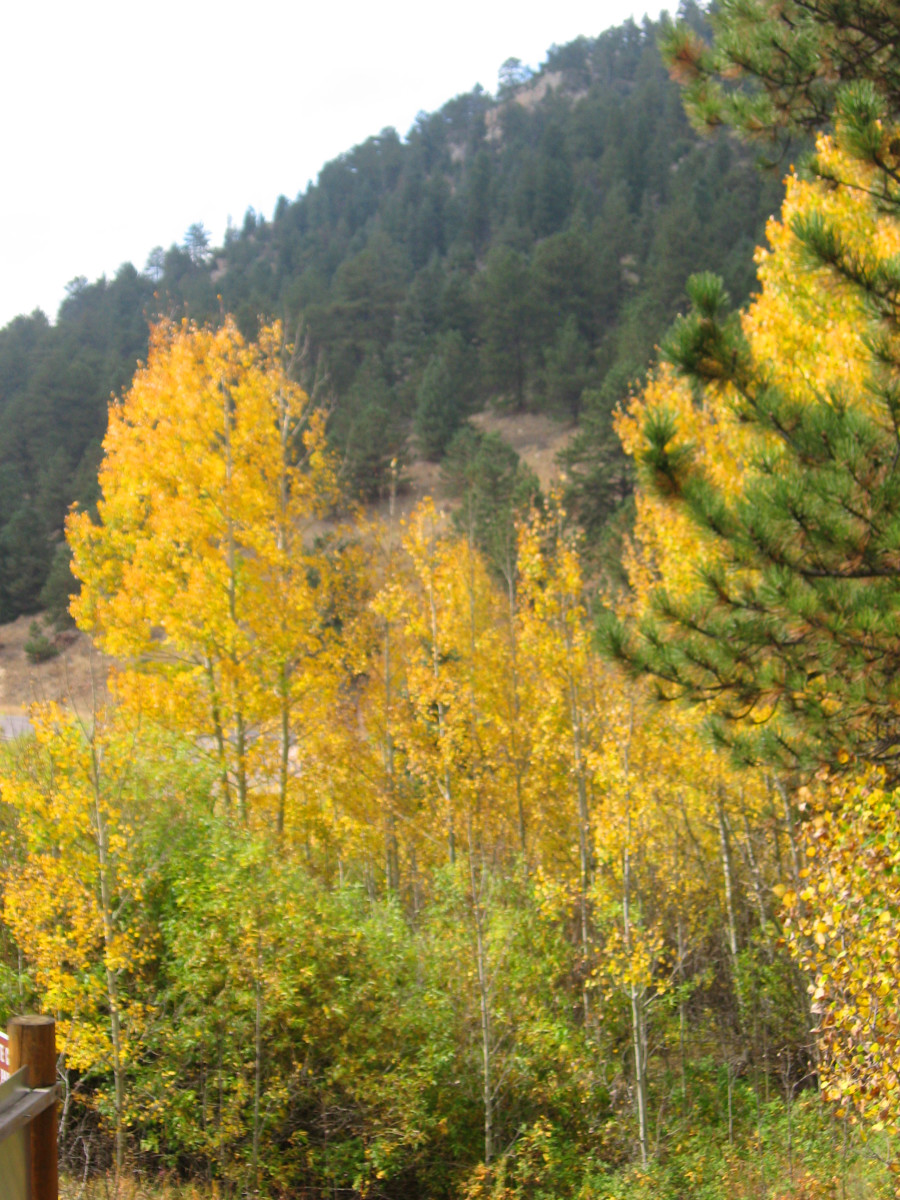 An aspen grove provides lots of opportunity for fall color photos right from the grounds of the Visitor's Center at  Golden Gate Canyon State Park