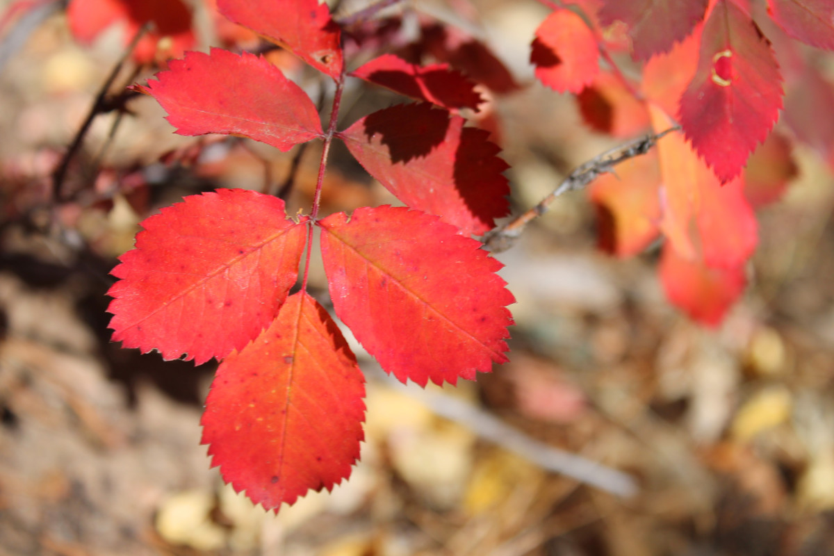 I like to keep an eye out for color near the ground as well, like these red rose leaves.