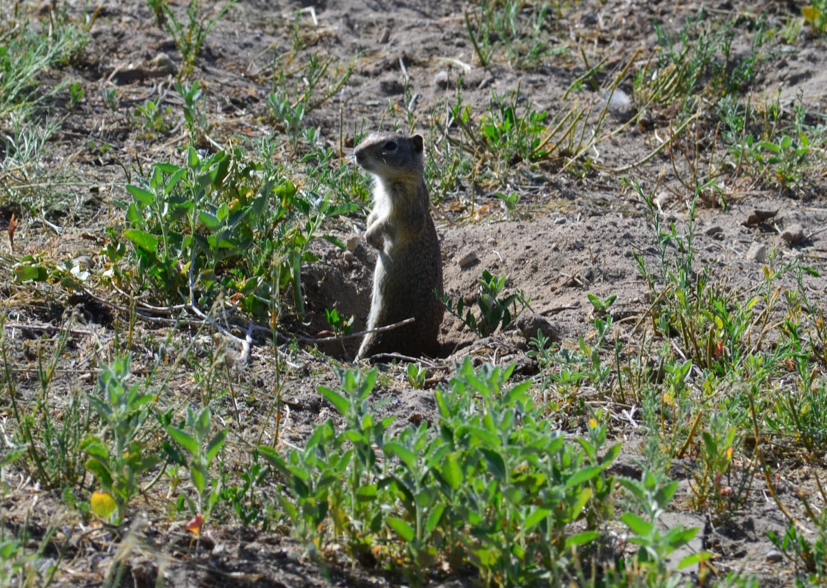 Ground squirrel photographed in Lake County, Oregon.