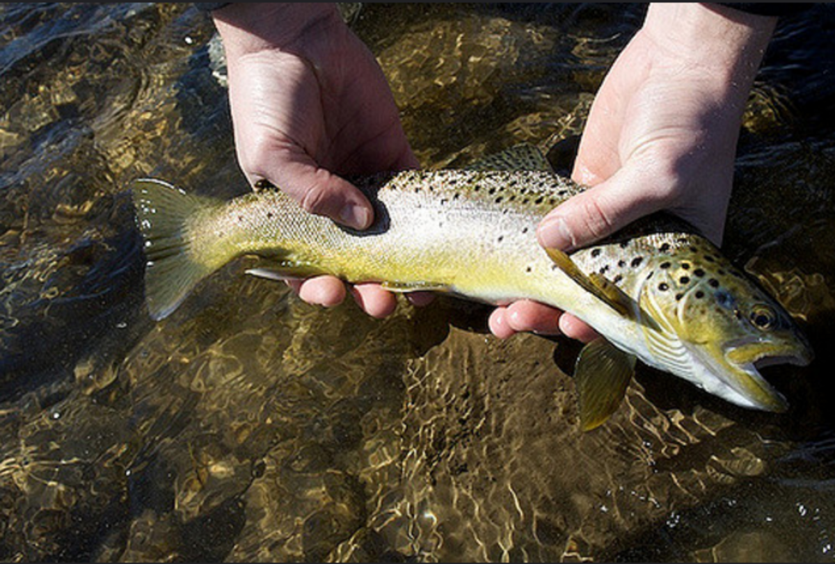 A nice sized brown trout