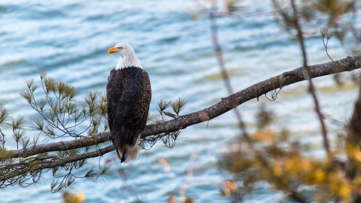 Bald Eagle at Starved Rock State Park