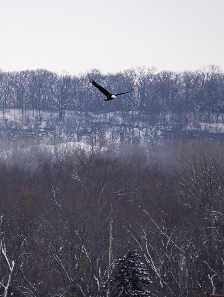 Bald Eagle flying @ Starved Rock State Park