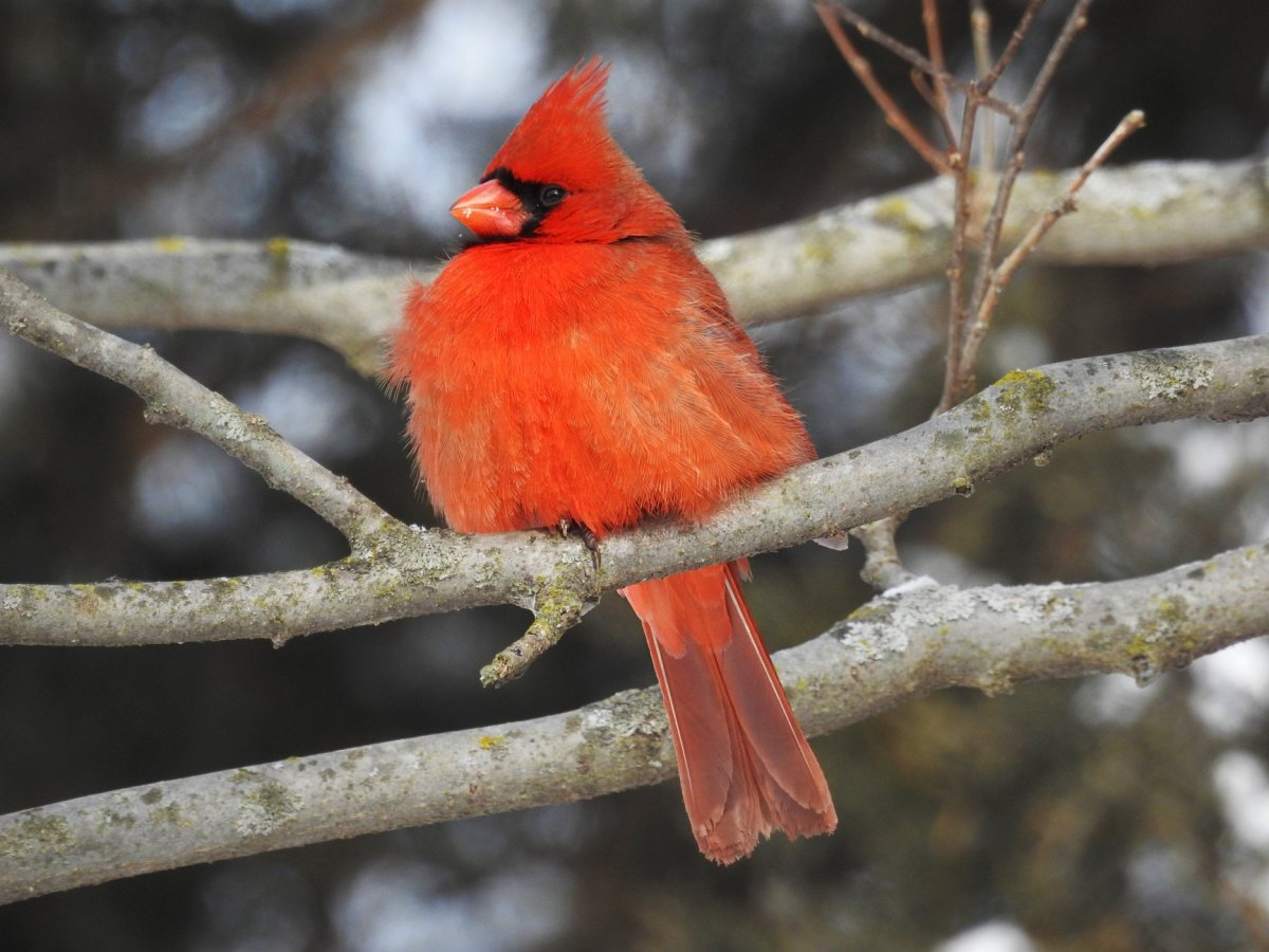 Cardinal near the visitor center at Starved Rock State Park near Utica, Illinois.