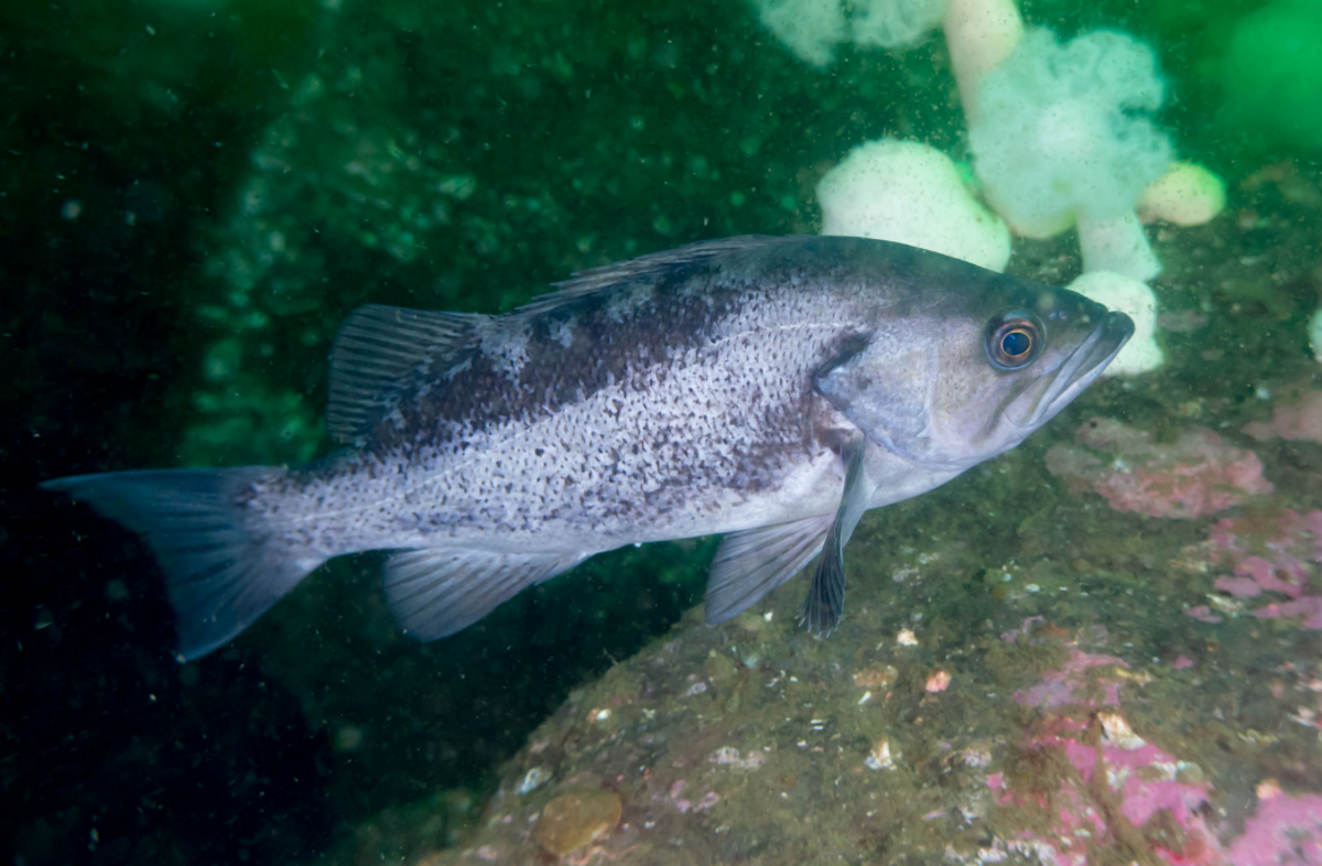 Black Rockfish are one of the most common species you'll catch on the west coast.